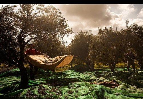 immigrants-crete-olives