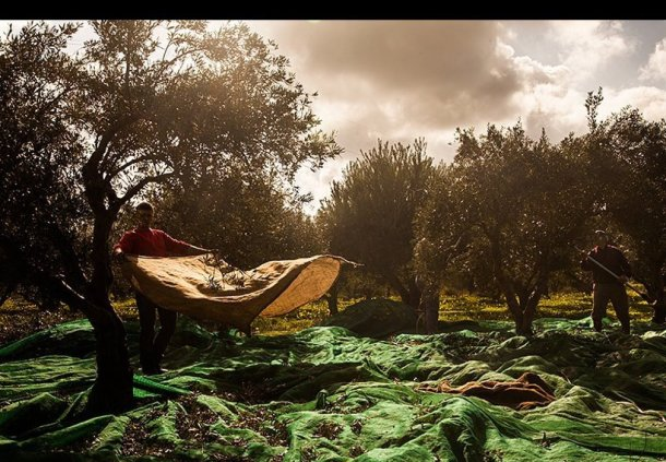 immigrants-crete-olives
