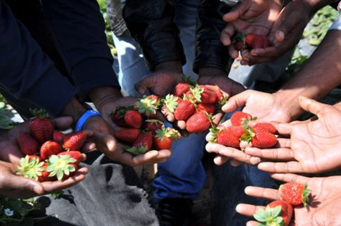 Manolada strawberries