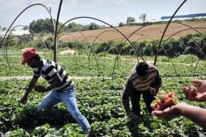 4000 strawberry pickersneeded!